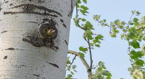 Pica-pau verde que olha fora do ninho Foto de Stock