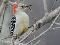 pica-pau Vermelho-inchado que senta-se em um ramo dos invernos Foto de Stock Royalty Free
