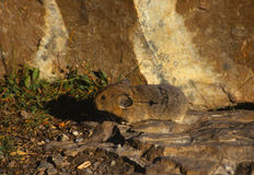 Pica in the rocks. A small pica in rocks looking for food Stock Photography