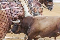 Picador bullfighter, lancer whose job it is to weaken bull's Stock Photos