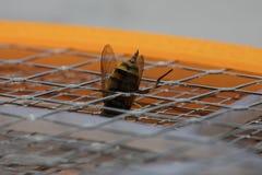 Picadura de abeja macra foto de archivo libre de regalías