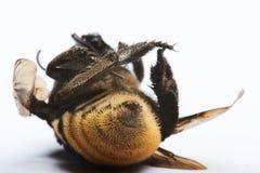 Picadura trasera de la visión de la abeja Imagen de archivo