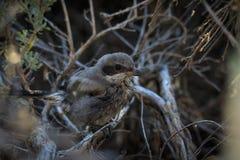 Picanço juvenil da boba no arbusto fotografia de stock royalty free