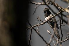 Picapica Pega die neer vanaf de bovenkant van een boom kijken stock fotografie