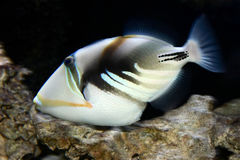 Picasso. Triggerfish royalty free stock image