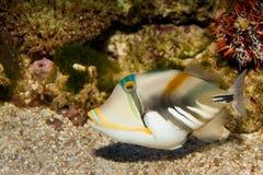 Picasso eller Humu Humu Triggerfish Arkivbilder