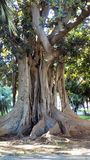 Picasso gardens-centenary ficus-Malaga-Andalusia Royalty Free Stock Photos