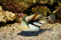 Picasso or Humu Humu Triggerfish Royalty Free Stock Photography
