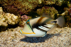 Picasso lub Humu Humu Triggerfish fotografia royalty free