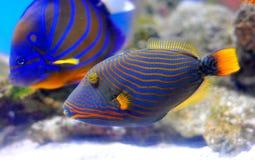 Picasso trigger fish. Swimming in aquarium stock image