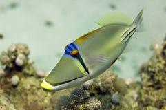 Picasso-Triggerfische des Roten Meers schließen herauf Porträt Lizenzfreies Stockbild