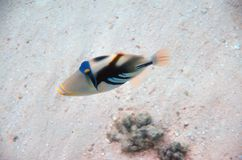 Picasso Triggerfish Royalty Free Stock Photos