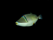 Picasso triggerfish Stock Image