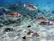Picasso triggerfish Stock Photos