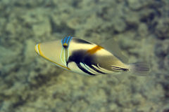 picasso triggerfish Fotografia Royalty Free