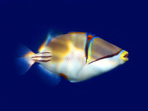 Picasso triggerfish. A little red sea Picasso triggerfish with blue background Stock Image