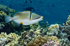Picasso Triggerfish Stock Foto's