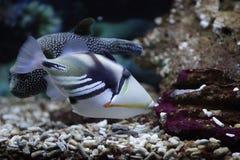 Picasso Triggerfish Royaltyfria Bilder