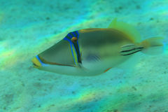 Picasso Triggerfish Arkivfoto