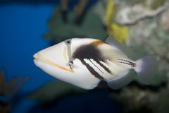 Picasso triggerfish Royalty Free Stock Image