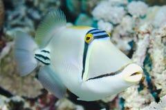 picasso triggerfish Royaltyfri Foto