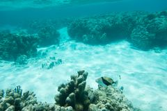 Picasso Triggerfish and Damselfish: New Caledonia. Picasso triggerfish and three-striped damselfish in the clear underwater reef off Yejele Beach in Tadine, Mare stock images