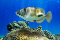 Picasso triggerfish (den Rhinecanthus aculeatusen) på korallreven Royaltyfria Foton