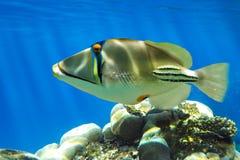 Picasso triggerfish (den Rhinecanthus aculeatusen) på korallreven - Röda havet - Röda havetfisk Arkivfoto