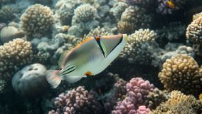 Free Picasso Triggerfish In The Reef, Red Sea Royalty Free Stock Photos - 137291788