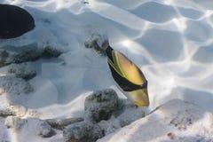 Picasso triggerfish på den Similan ön Royaltyfria Bilder