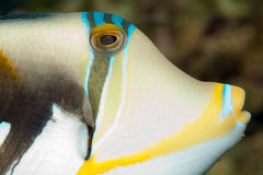 Picasso Triggerfish Portrait Stock Photo