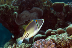 Picasso triggerfish in the Red sea. stock image
