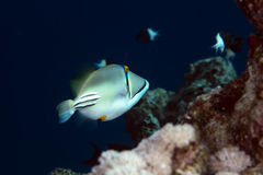 Picasso triggerfish in the Red sea. Royalty Free Stock Images