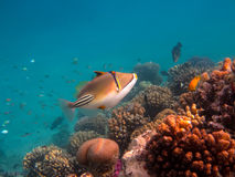 Picasso Triggerfish. In the Reef, Red Sea Stock Photography