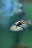 Picasso triggerfish (Rhinecanthus aculeatus) Royalty Free Stock Image