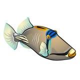 Picasso Triggerfish Ryba odizolowywająca na białym tle Fotografia Stock