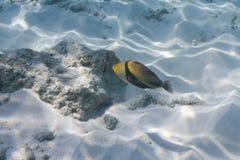 Picasso triggerfish at Similan island Royalty Free Stock Photo