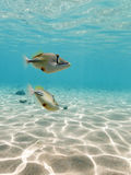 Picasso Triggerfish swimming Underwater Royalty Free Stock Image