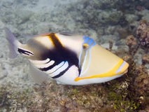 Picasso triggerfish in Tikehau Royalty Free Stock Photos