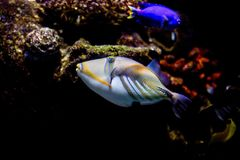 Picasso-Triggerfish und -Paletten-Doktorfisch stockfotografie