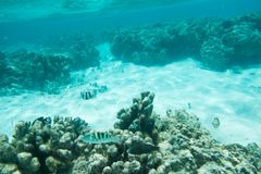 Picasso Triggerfish, Wrasse and Damselfish. Picasso triggerfish, sixbar wrasse and three-striped damselfish in the clear underwater reef off Yejele Beach in royalty free stock photography