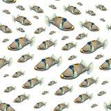 Picasso triggerfish wzór Fotografia Royalty Free