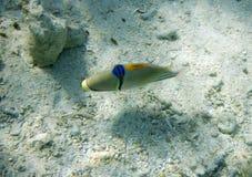 Picassofish Stock Photo