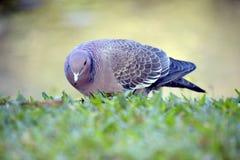 Picazuro gołąb, Brazylia wielka dzika gołąbka Fotografia Stock