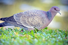 Picazuro pigeon, Brazil's largest wild dove Stock Images