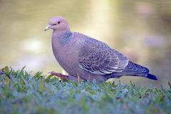 Picazuro pigeon, Brazil's largest wild dove Royalty Free Stock Photography
