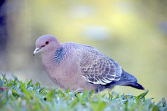 Picazuro pigeon, Brazil's largest wild dove Royalty Free Stock Images