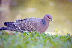 Picazuro pigeon, Brazil's largest wild dove Stock Image