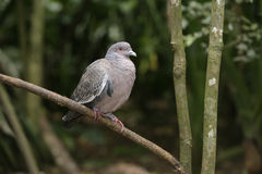 Picazuro pigeon, Columba picazuro Stock Image