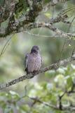 Picazuro pigeon,  Columba picazuro Stock Images